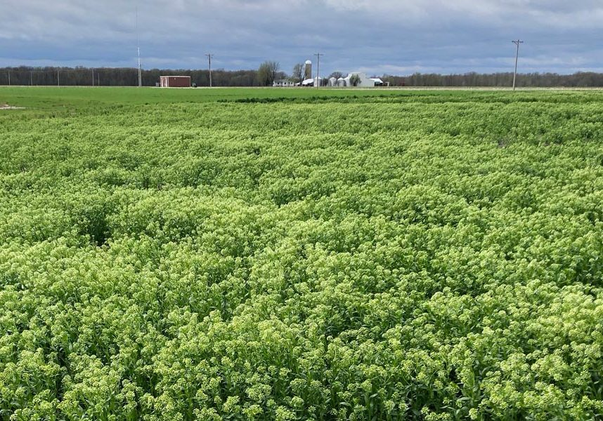 Cover Cress Flowering Field